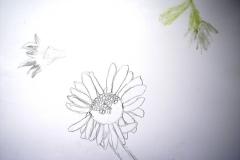 Gänseblümchen (Bleistift auf Papier, 59,4 x 42 cm)